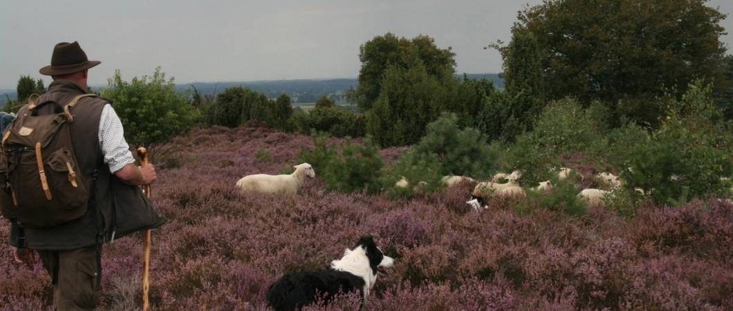 duurzaam hellendoorn schapen-en-heide
